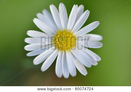 Closeup Of A Small Yellow And White Daisy