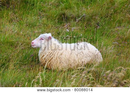 White Icelandic sheep resting in a meadow. July in Iceland