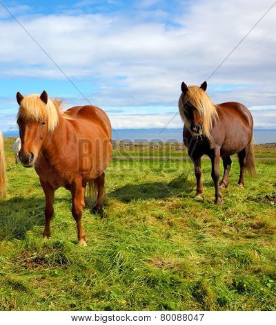 Summer in Iceland. Two Icelandic bay horses with yellow  manes on a free pasture