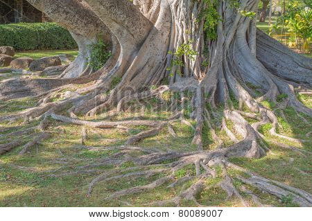 Hawaiian Banyan Tree.