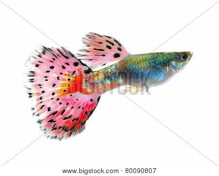 Guppy Fish Isolated On Black Background
