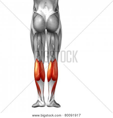 Concept or conceptual 3D human lower leg anatomy or anatomical and muscle isolated on white background