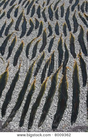 Kelp seaweed drying on a beach
