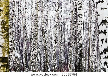 Bare Birch Trees In Winter
