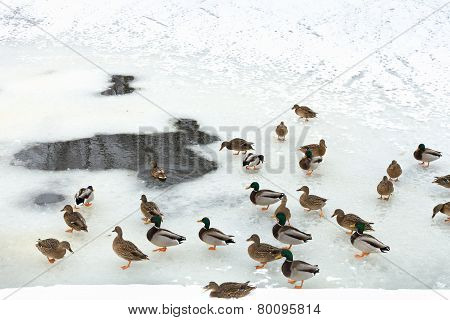 Flock Of Ducks Near Glade In Frozen River