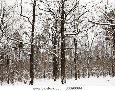 Snowy Oaks And Pine Trees In Winter Forest