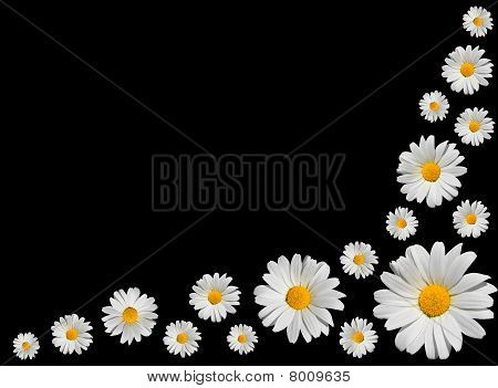 Osteospermum - Group Of White Daisies Isolated On Black