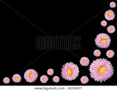 Group Of Pink Flowers With Yellow Center Isolated On Black