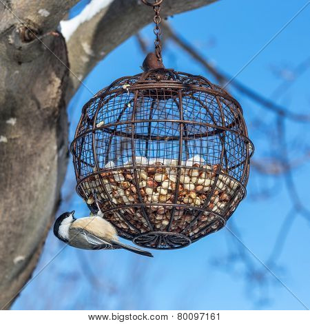 A  black-capped chickadee (Poecile atricapillus) hanging from a round wire bird feeder filled with peanuts.