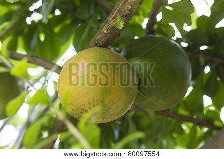 Pamela tree