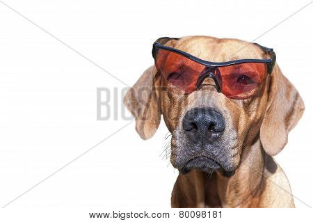 Rhodesian ridgeback with sunglasses, detail, funny photo, Isolated on white