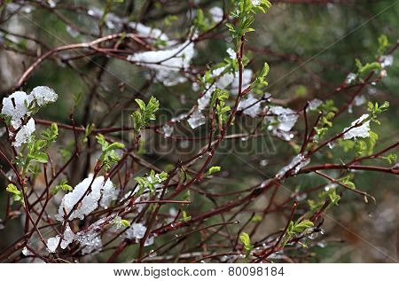 Ice-covered branches with young leaves.