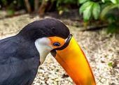 pic of toucan  - Toucan - JPG
