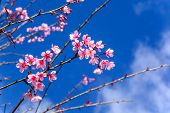 stock photo of sakura  - Cherry blossom or sakura flowers with blue sky in Thailand