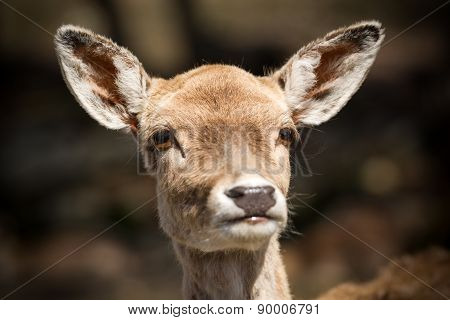 Face Of A Cute Young Deer Close Up