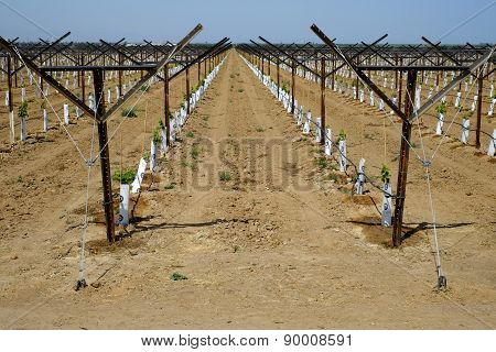 New Vineyard, Central California