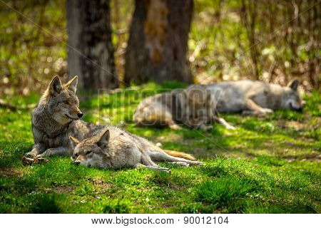 Coyote Pack Resting And Sleeping In Forest