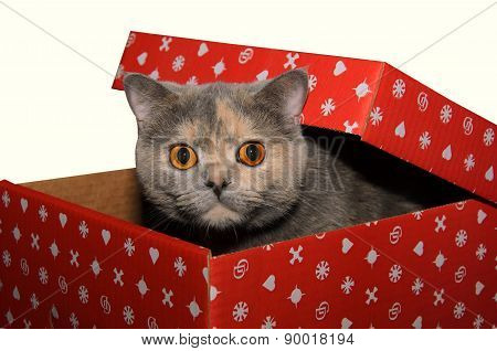 British Cat In A Red Gift Box
