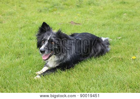 Collie in semi-relaxed stance
