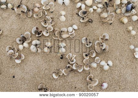 Empty Cockle Shells On A Beach