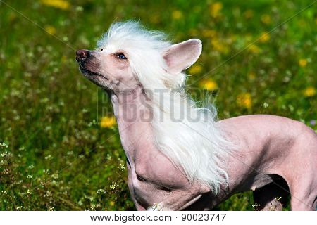 Chinese crested dog white.