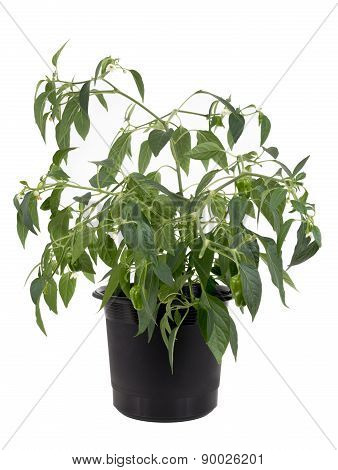 Potted hot pepper jalapeno plant growing over white background