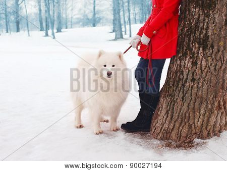 Owner And White Samoyed Dog Near Tree In The Winter Park
