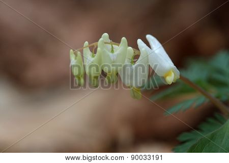 Dutchman's Breeches flower