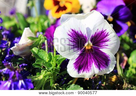 Pansy flowers, close-up