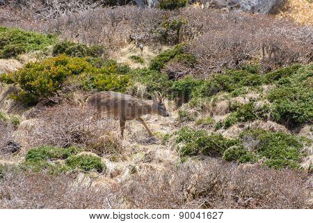 Roe Deer In A Bush In Yeongsil