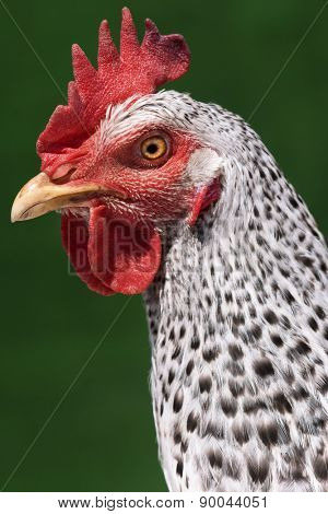 Head chicken - speckled hen on green background