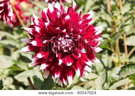 Colorful dahlia flower red