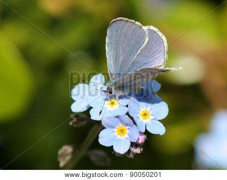 Echo Azure Butterfly - Celastrina echo