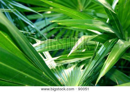 Palm Foliage