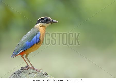 Beautiful Bird (blue-winged Pitta) Stand On The Stone