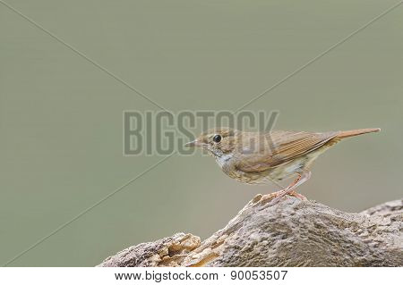 Rufous-tailed Robin Perching On Beautiful Wood