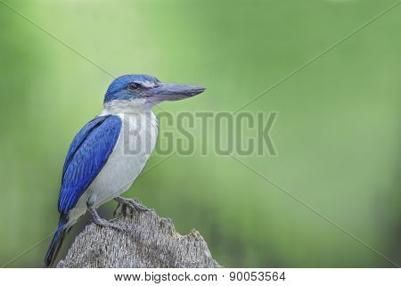 Beautiful Bird ( Collared Kingfisher ) Perching On The Best Bran