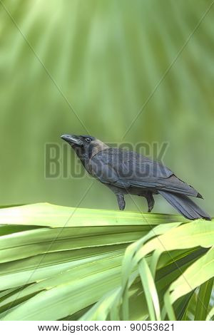 Beautiful Bird (House Crow) perching on green leave