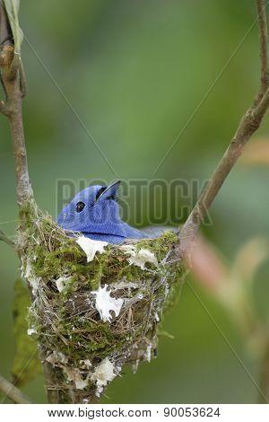 Bird (black-naped Monarch) Nesting On Tree