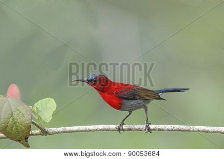 Beautiful Bird  (crimson Sunbird) Perching On Branch