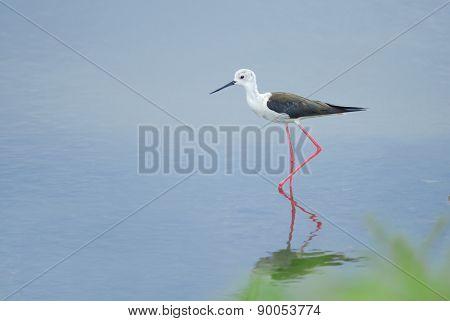 Beautiful Bird (black-winged Stilt) Walking In The Pond