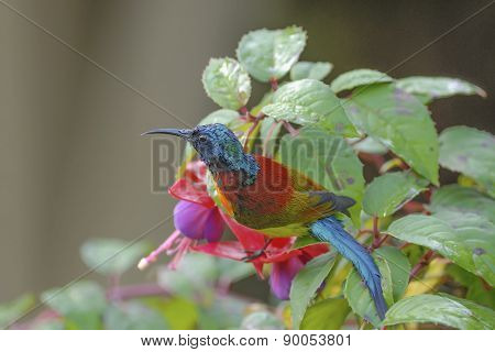 Colorful Of Bird (green-tailed Sunbird) Perching On Flower
