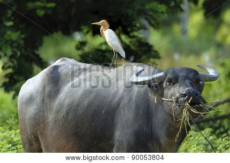 Bird (cattle Egret) Perching On Buffalo