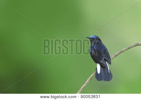 Beautiful Bird (white-tailed Robin) Perching On Branch