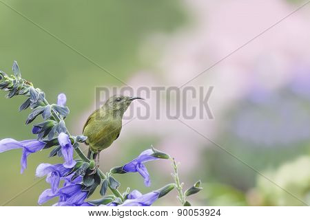 Beautiful (black-throated Sunbird) Bird Perching On Flower