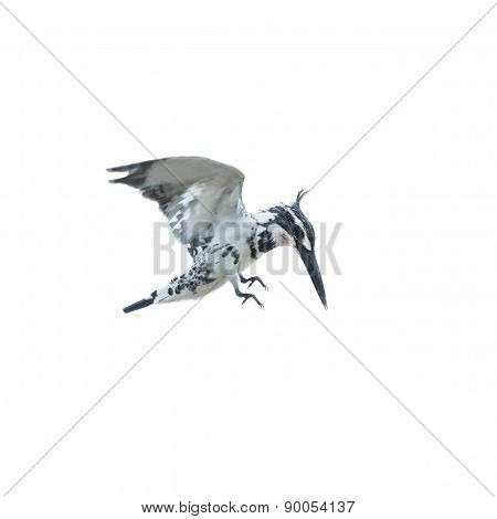 Pied Kingfishing Hovering In Sky Isolate On White Background