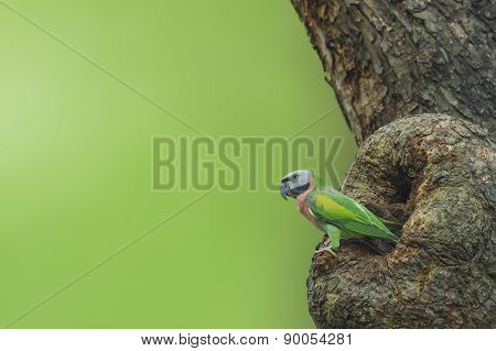 Bird (red-breasted Parakeet) Perching In Front Of Nest