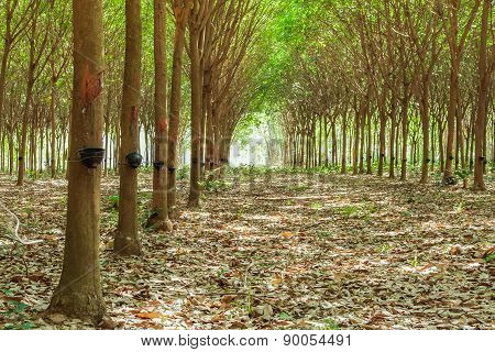 Walkway And Rubber Tree Latex Agriculture In Tropical Forest With Bowl