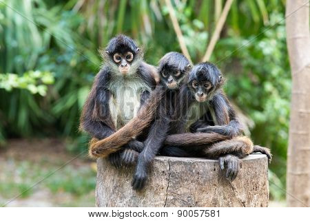 Spider monkey on a tree