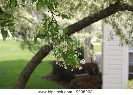 White Crab Apple Spring Time Flower Blossoms